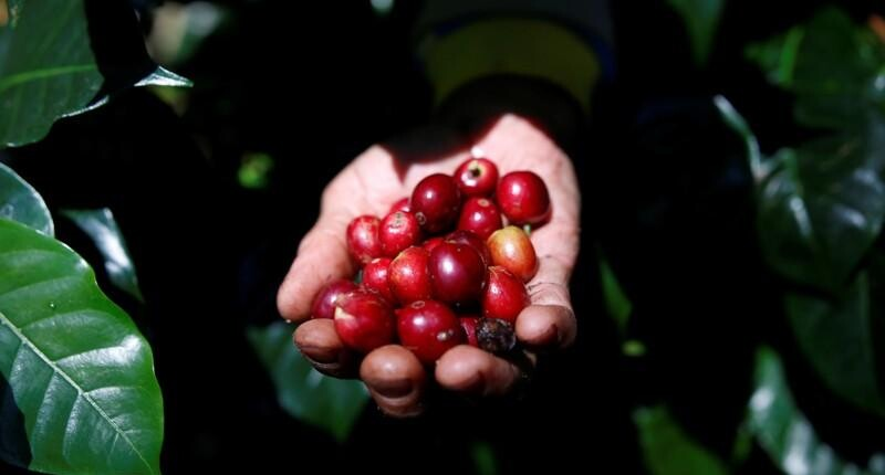 Asia Coffee-Vietnam prices slip ahead of peak harvest stockpile build up